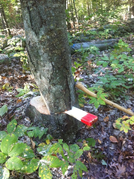 Cutting A Tree : Thinking of cutting down a small tree think safety first