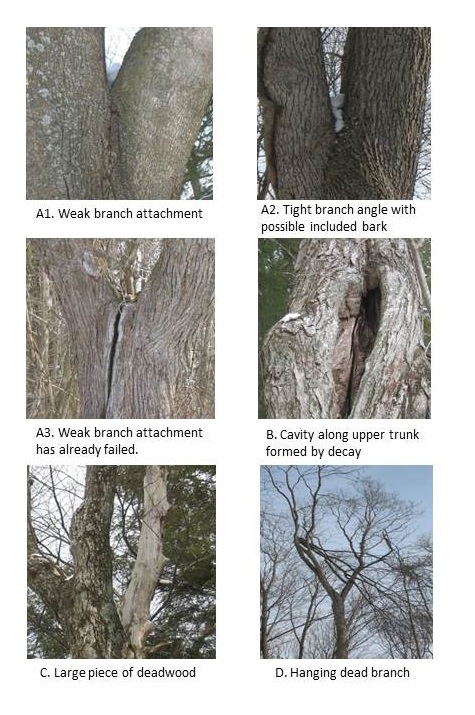 tree defects ppt pics